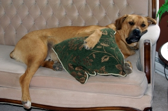 A large dog making himself comfortable on the couch.